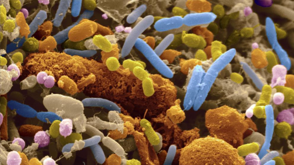 Cómo la microbiota intestinal regula el sistema inmunitario